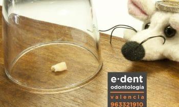 Células madres y dientes de leche